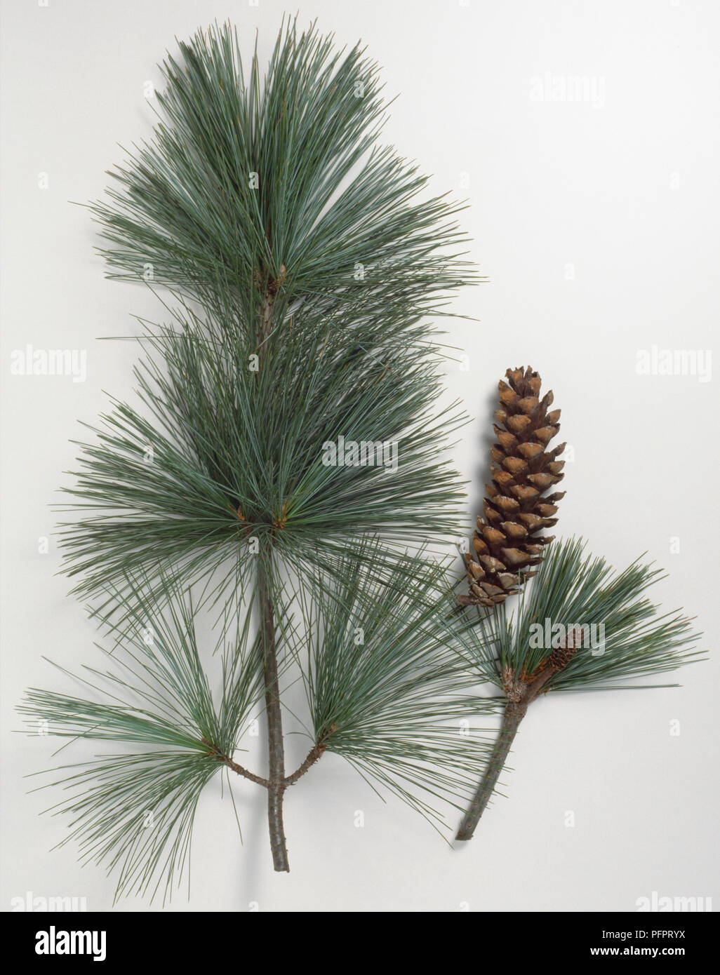 Pinaceae, Pinus wallichiana, Himalayan Pine, grey stem with very slender blue-grey leaves in clusters of five, with bloomy young shoot and brown hanging cone. - Stock Image