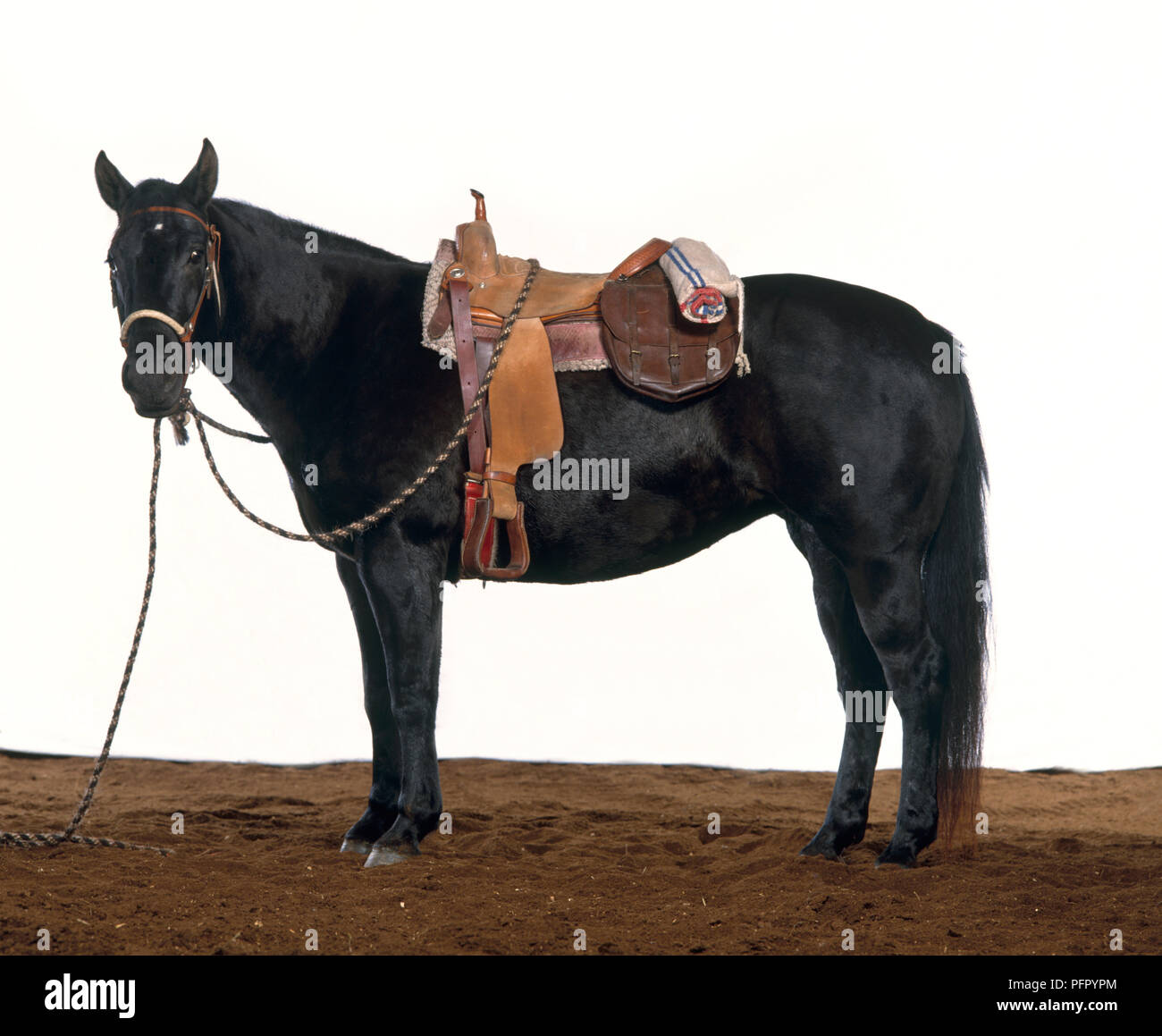 Black Horse With Western Saddle On Stock Photo Alamy