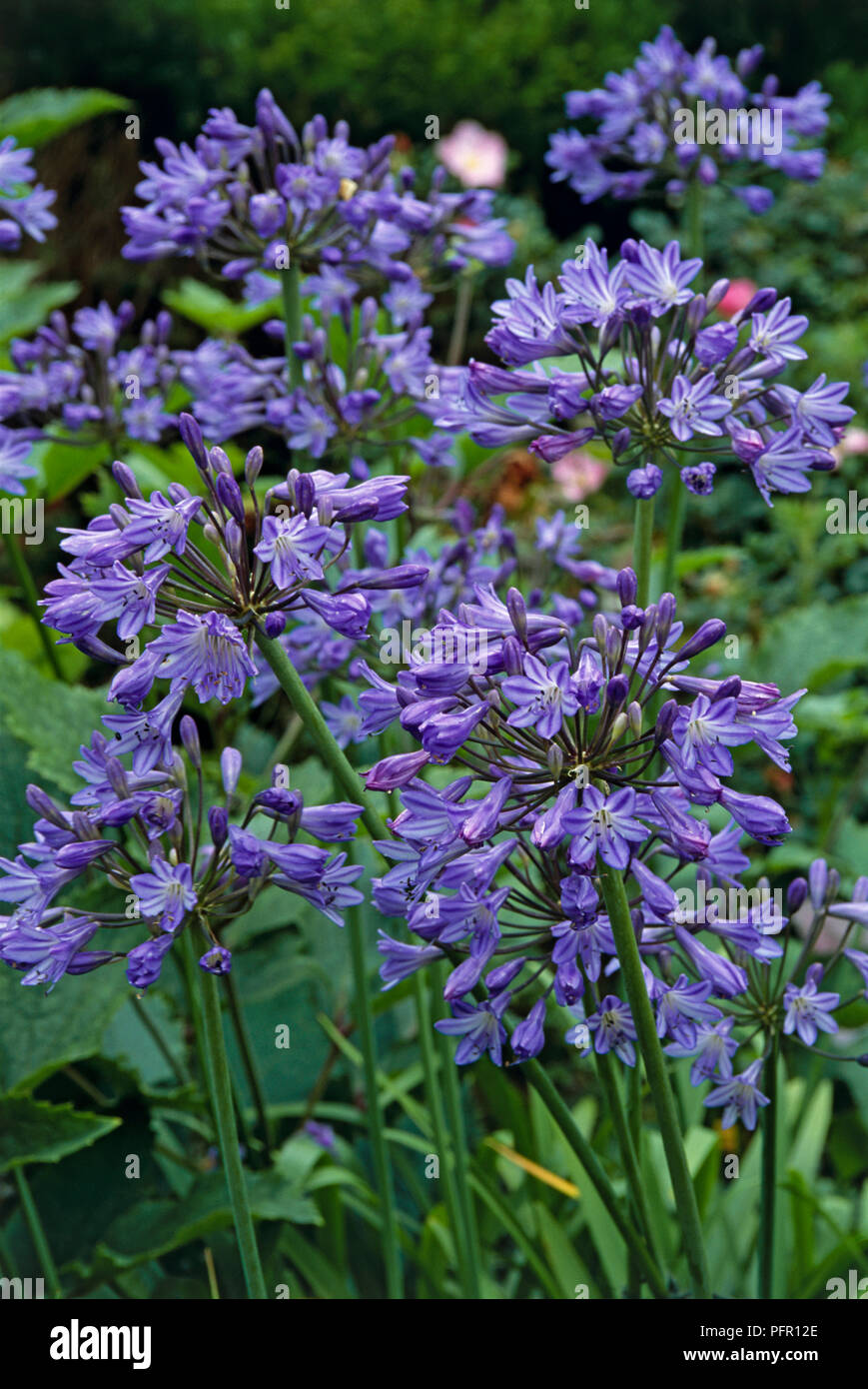 Agapanthus Headbourne Hybrids Lily Of The Nile Bearing Purple