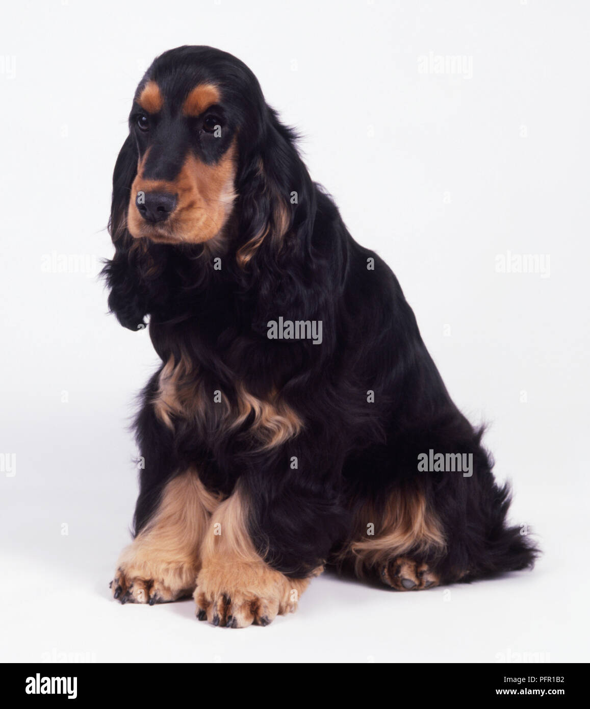 Black And Tan English Cocker Spaniel Sitting Stock Photo Alamy
