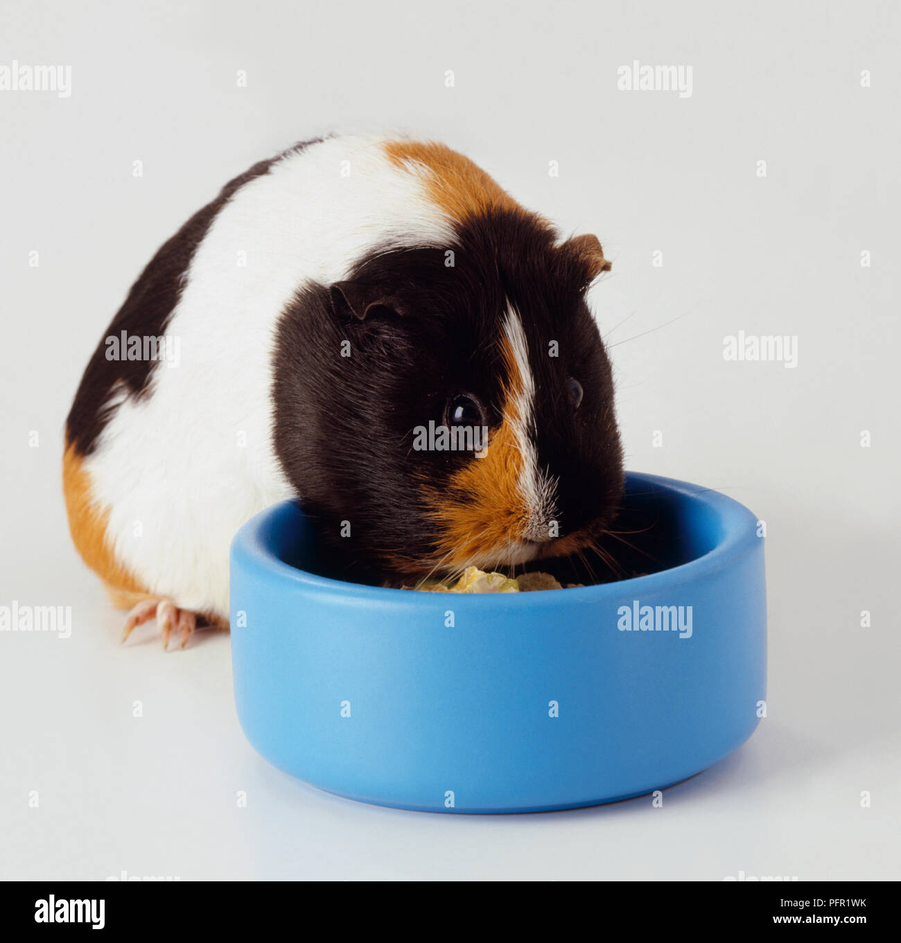 Tortoiseshell coloured guinea pig eating from a food bowl