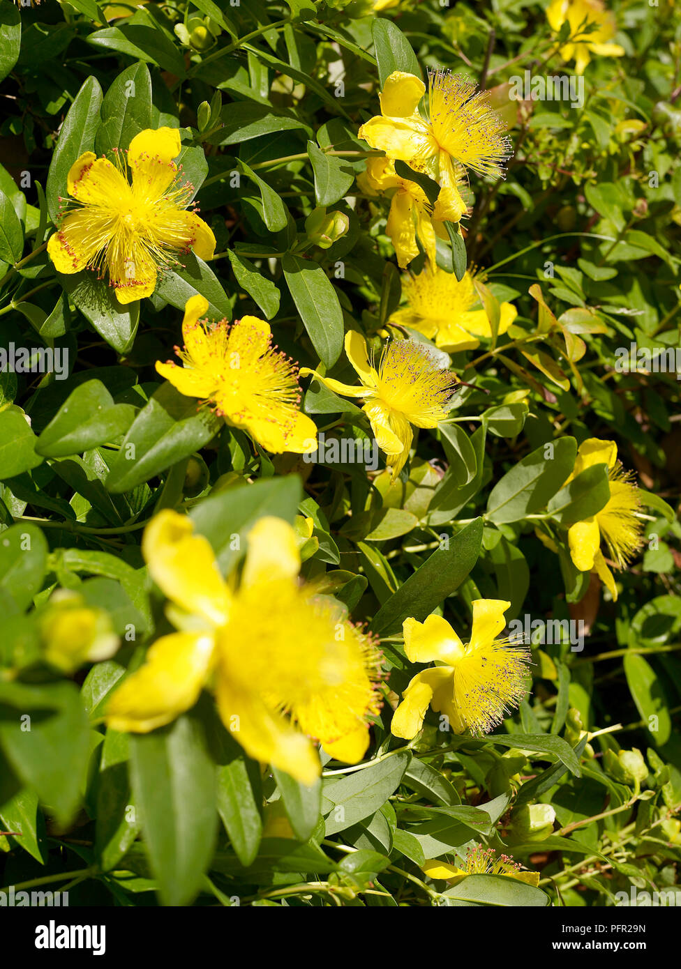 Hypericum Calycinum Rose Of Sharon Yellow Flowers Close Up Stock