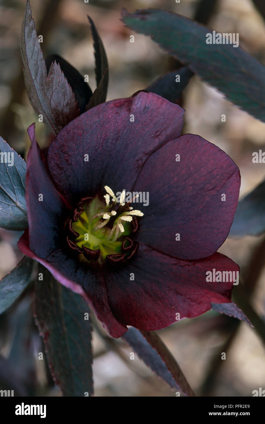 Hosta Midas Touch Plantain Lily Midas Touch Dark Purple
