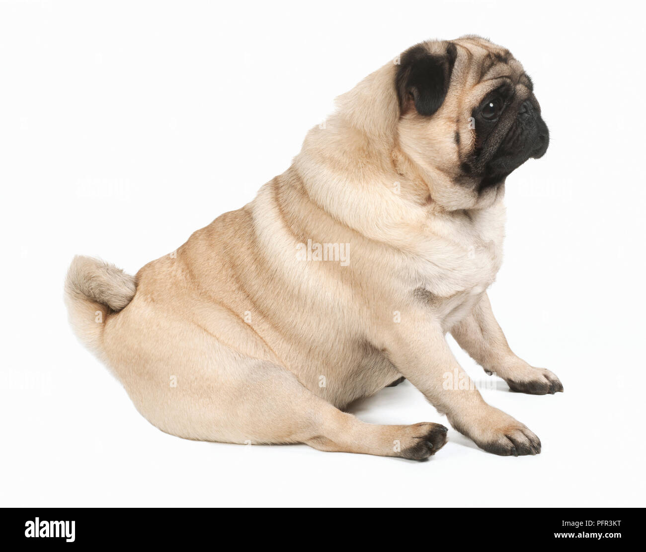 Pug, 2-3-year-old male dog Stock Photo