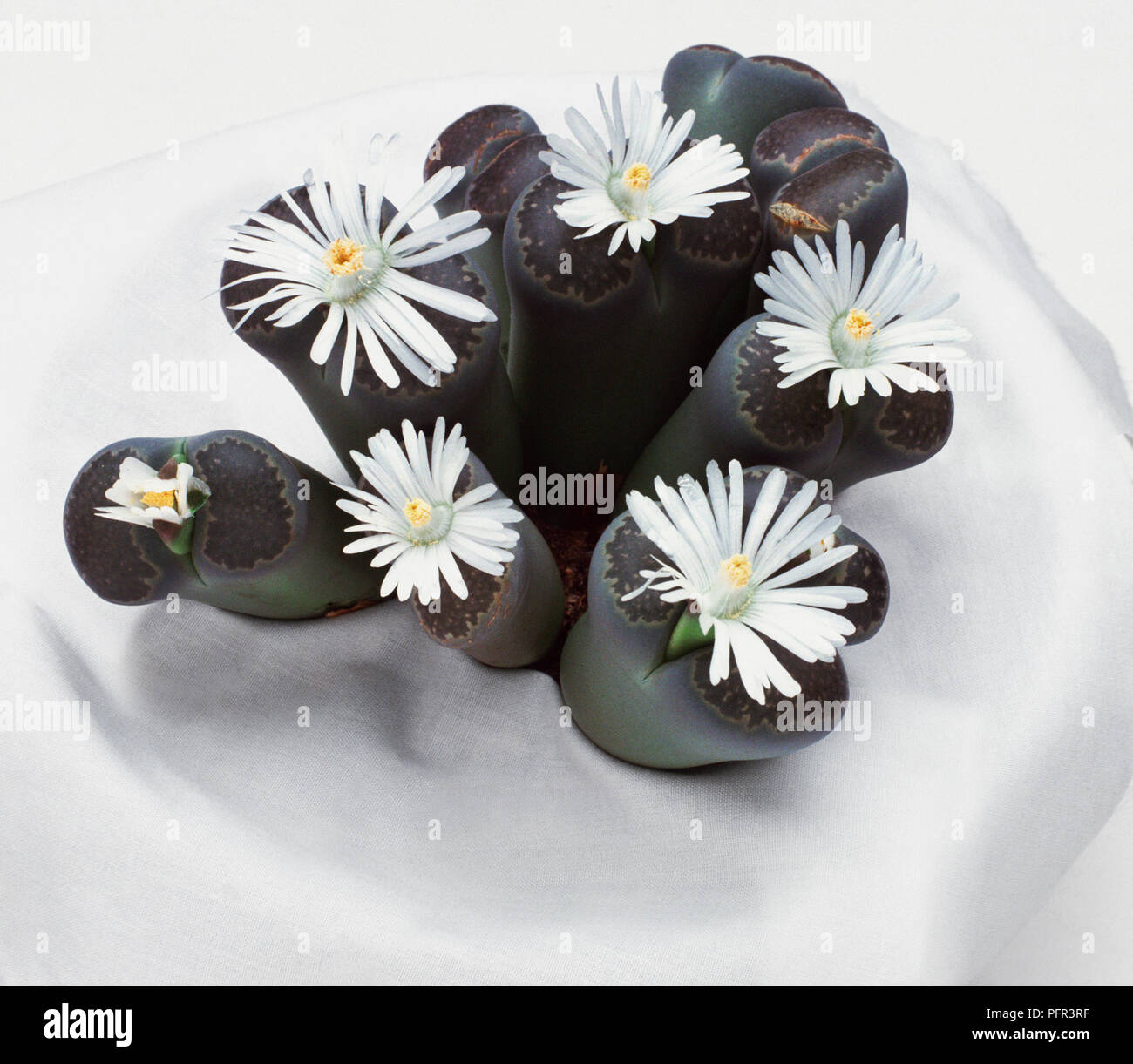 Lithops Salicola Succulent With White Flowers Stock Photo