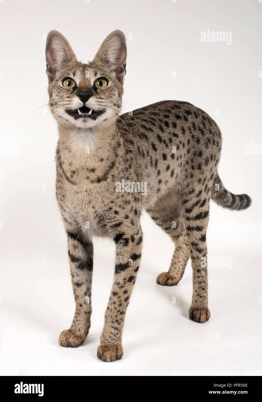Savannah F1 Shorthair Cat Stock Photo Alamy