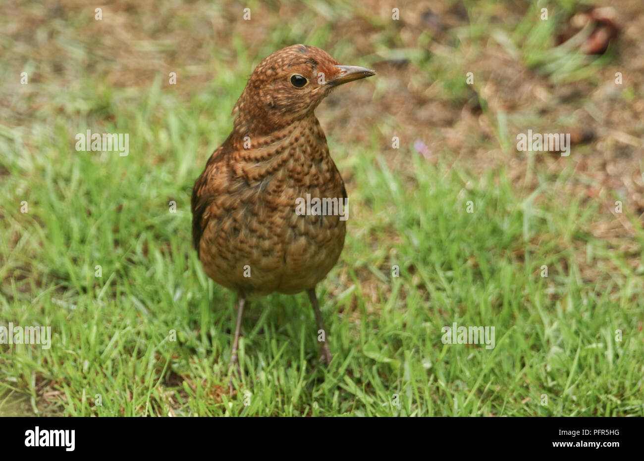 A pretty juvenile Blackbird (Turdus merula) hunting for worms in the grass. - Stock Image
