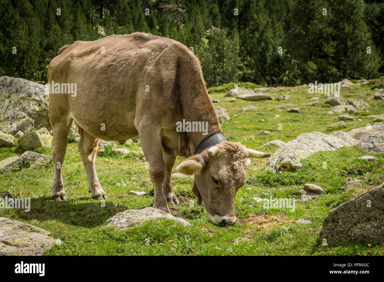 Cows eating grass on a mountain side in Aiguestortes National Park in Catalan Pyrenees, Spain. - Stock Photo