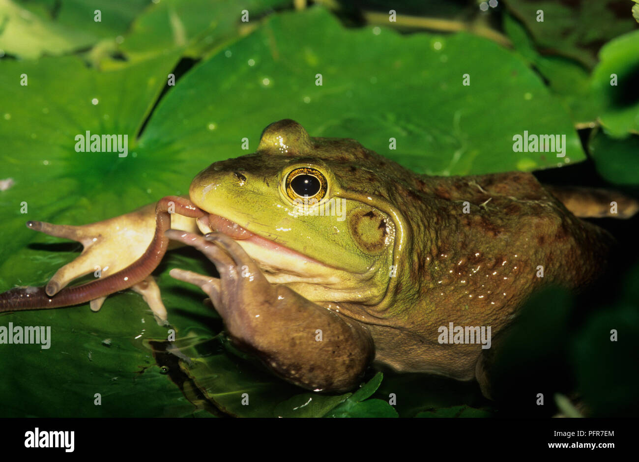 Bullfrog (Rana catesbeianus) or (Lithobates catesbeianus) eating an earthworm in a swamp in SW Idaho Stock Photo
