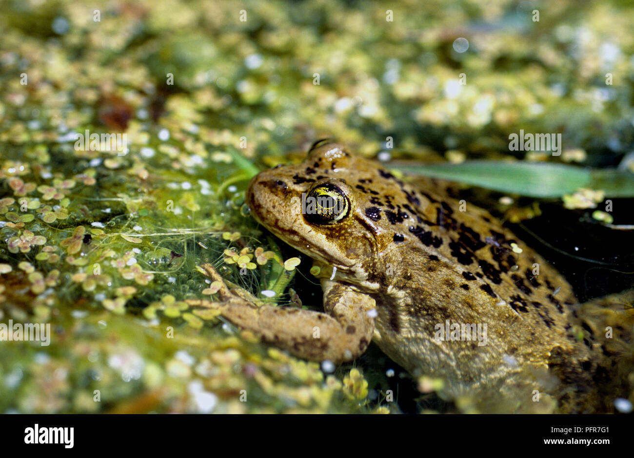Columbia spotted-frog (Rana luteiventris) in a wetland in Owyhee County in SW Idaho Stock Photo