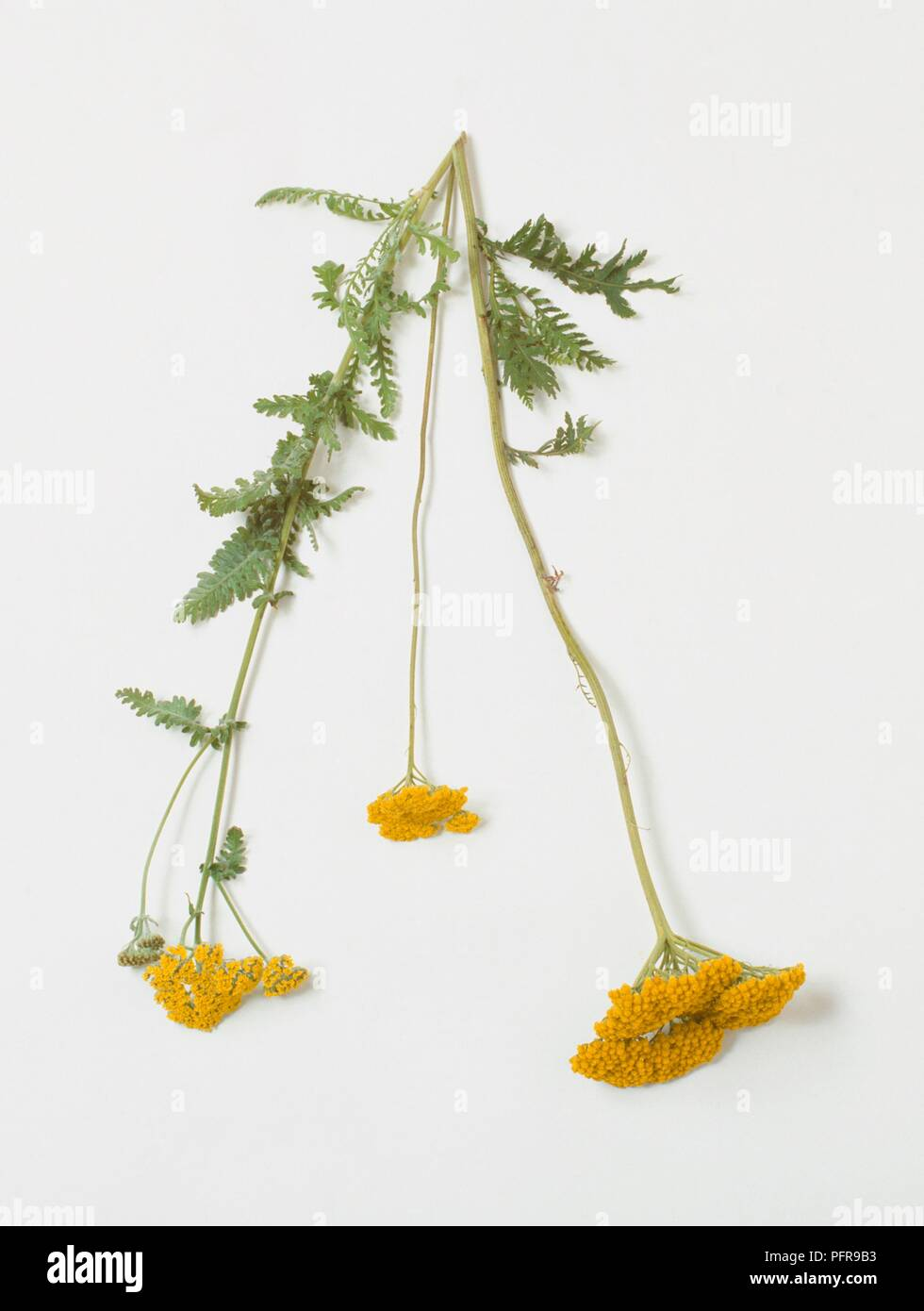 Achillea millefolium 'Moonshine' (Yarrow) with abundance of tiny yellow flowers and green leaves on long stem - Stock Image