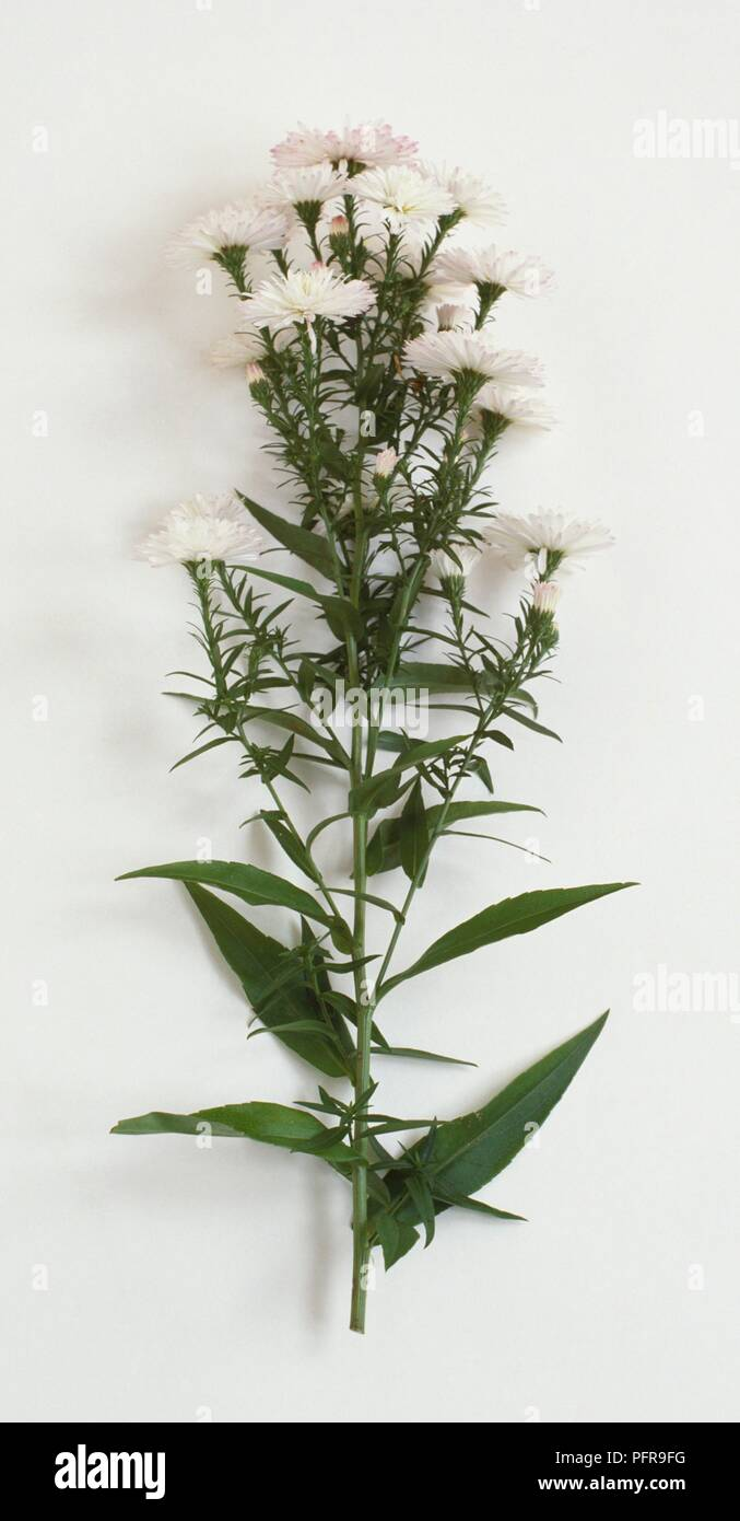 Aster Novi Belgii Blandie Michaelmas Daisy With White Flowers