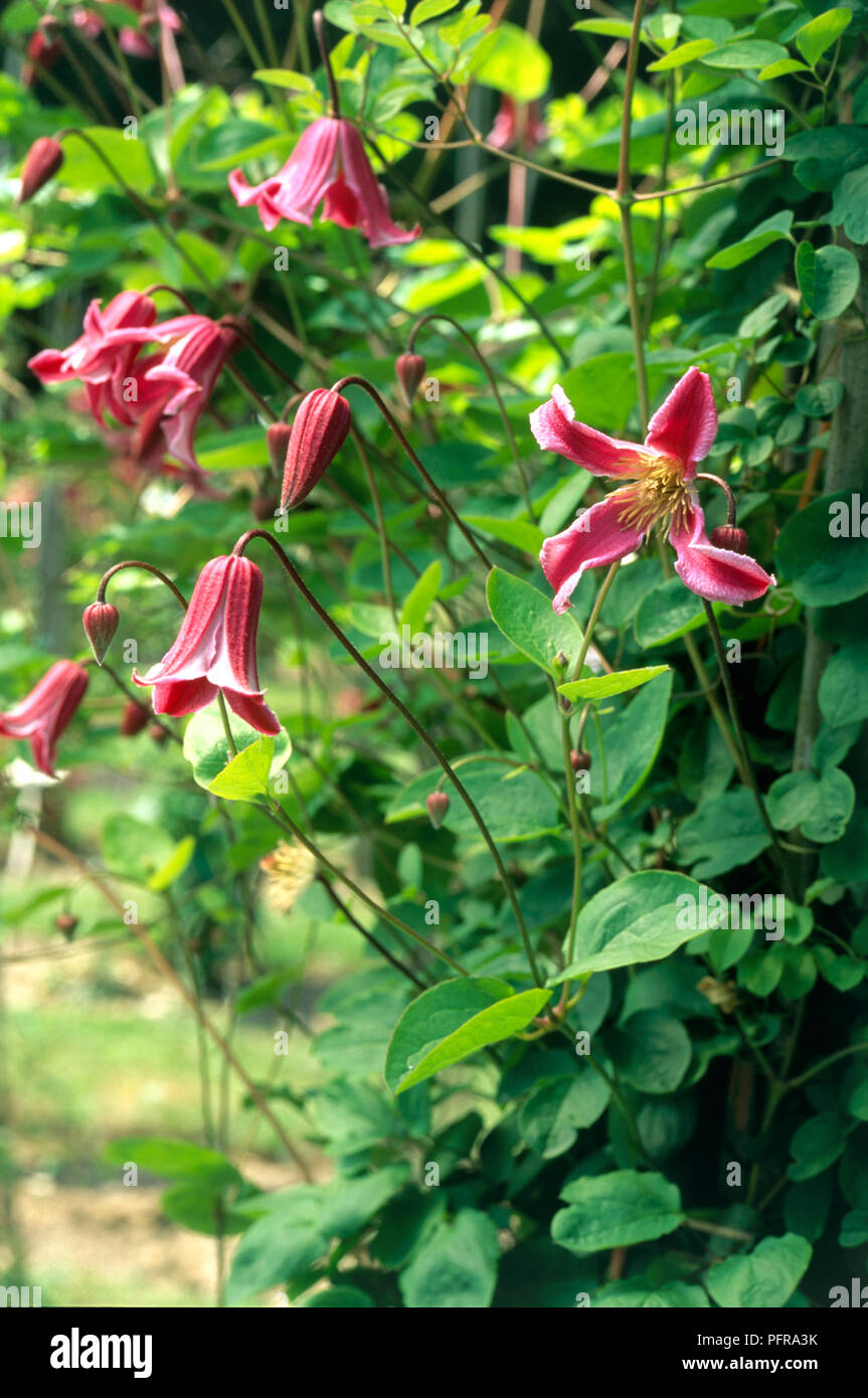Clematis texensis 'Etoile Rose' (Leather Flower or Scarlet Leather fFower) with pink, four-petaled flowers and green leaves Stock Photo