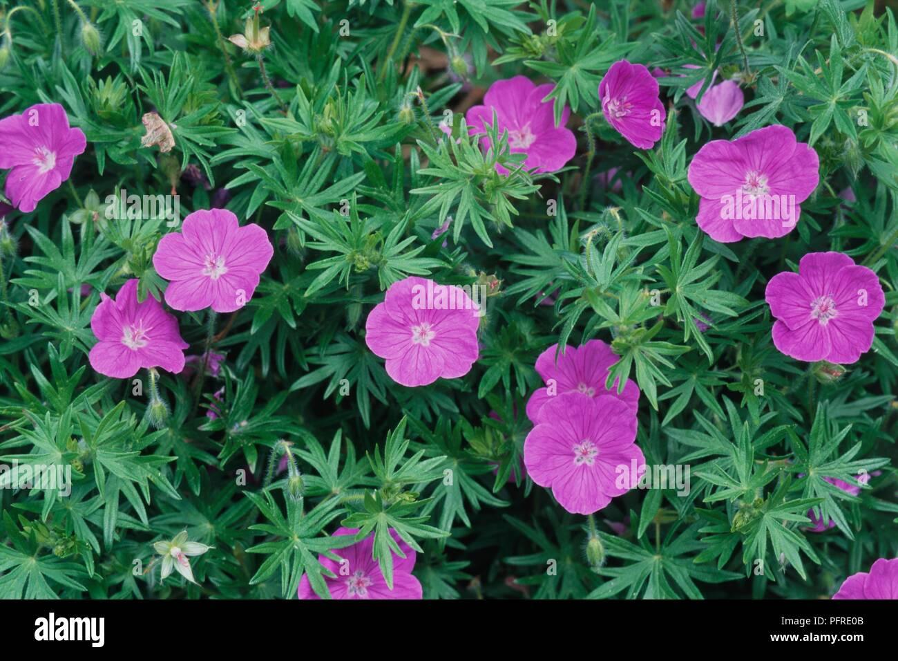 Geranium sanguineum Storchenschnabel Ankums Pride