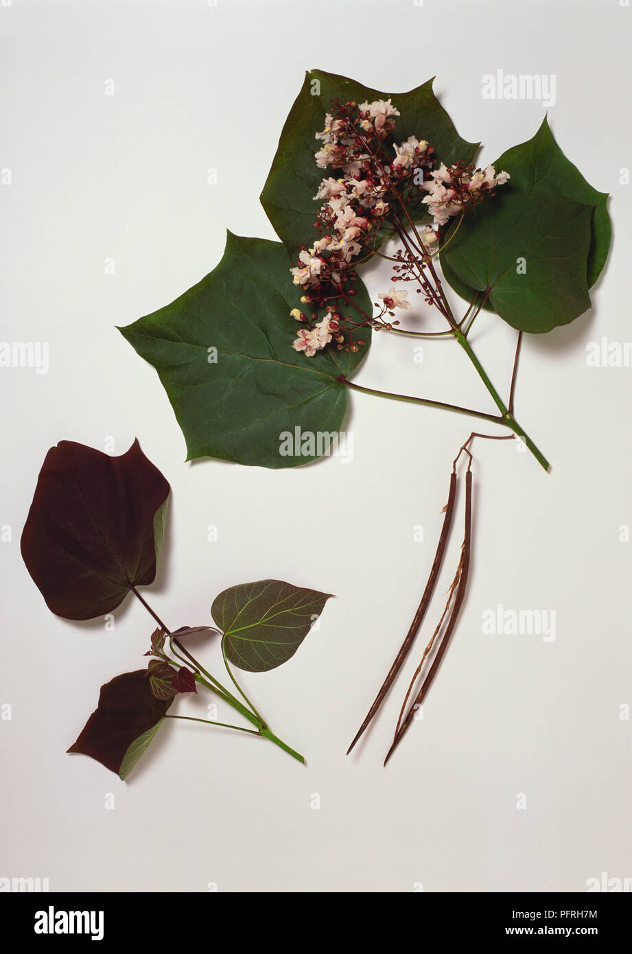 Catalpa x erubescens, stem with leaves and flowers, two pods, and a stem from the cultivar 'Purpurea' - Stock Image
