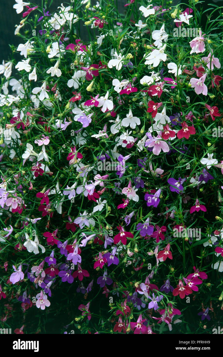 Lobelia Colour Cascade Perennial With Small Purple Pink And