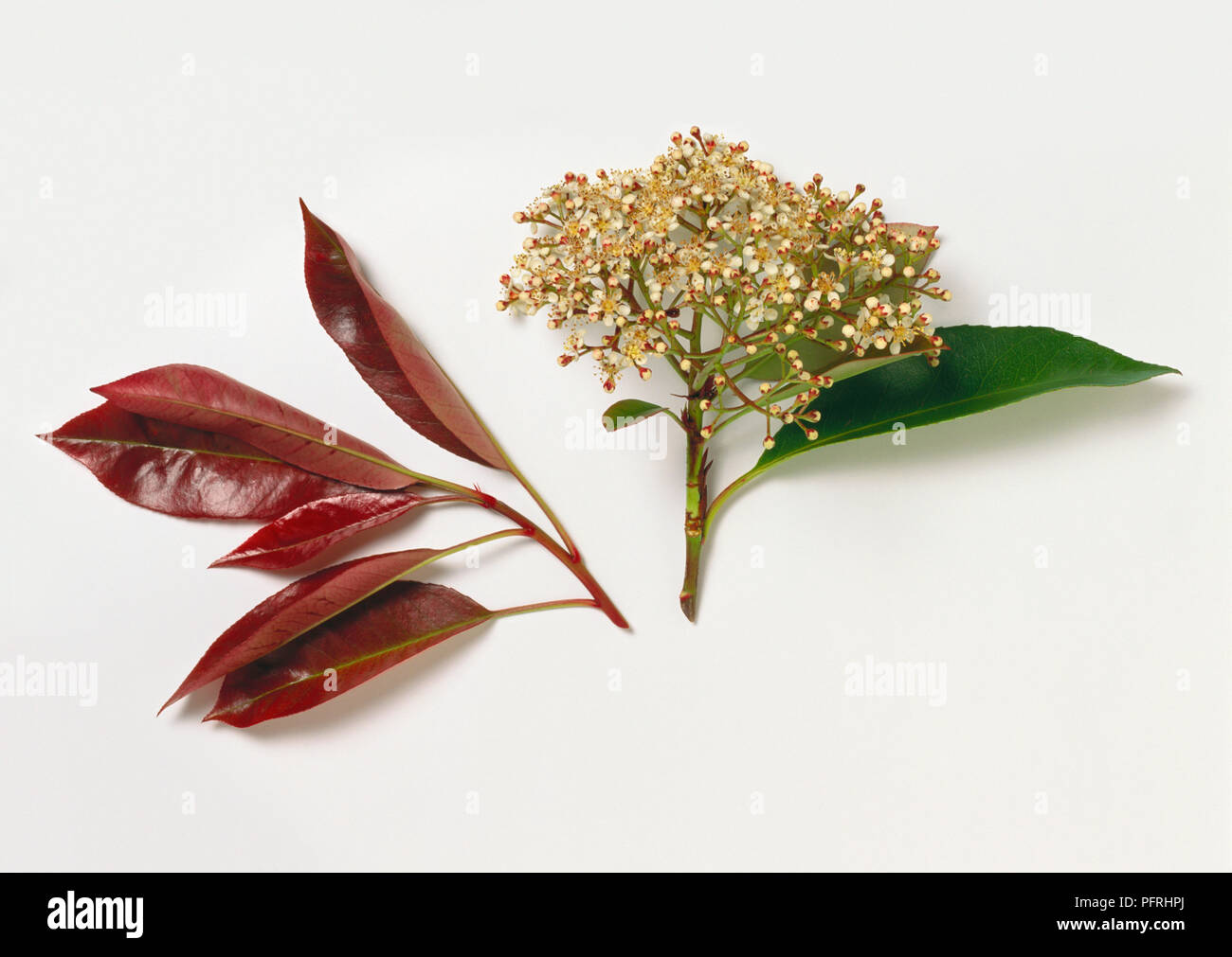 photinia x fraseri red robin christmas berry stem with leaf and flowers and red leaves - Is Red Robin Open On Christmas