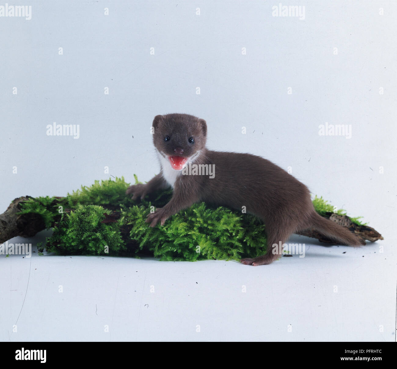 Mustela nivalis (weasel, least weasel). Family Mustelidae. Baby weasel on moss-covered ground baring its teeth - Stock Image