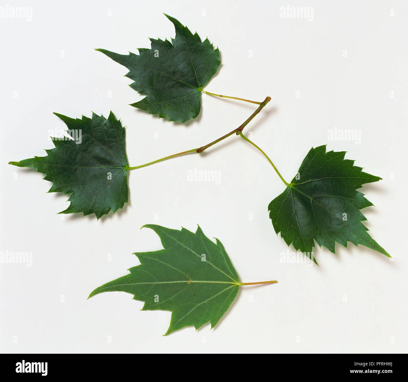 Tilia mongolica (Mongolian lime), stem with three leaves, and underside of a leaf Stock Photo