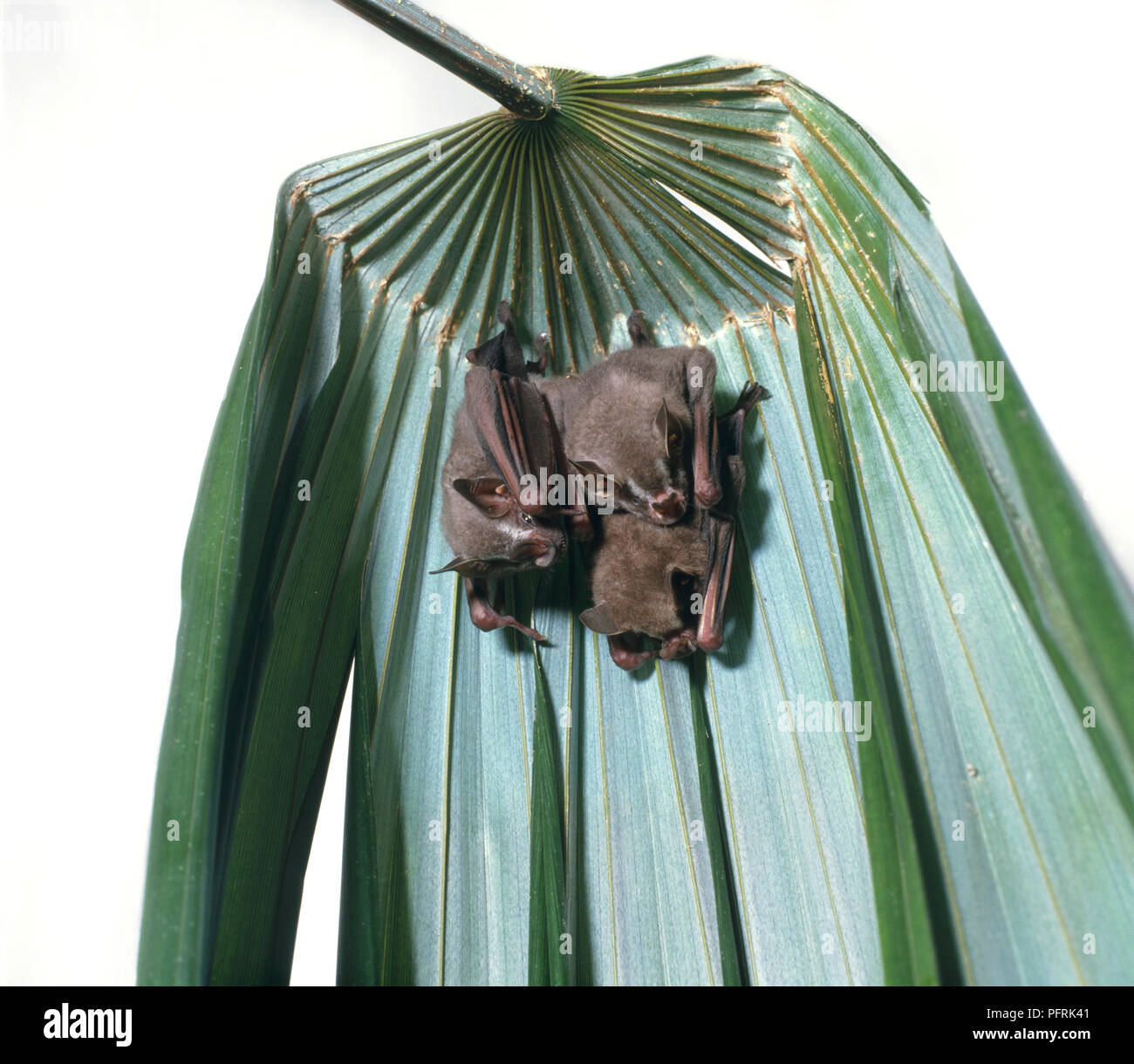 White Tent Bats Stock Photos & White Tent Bats Stock Images - Alamy