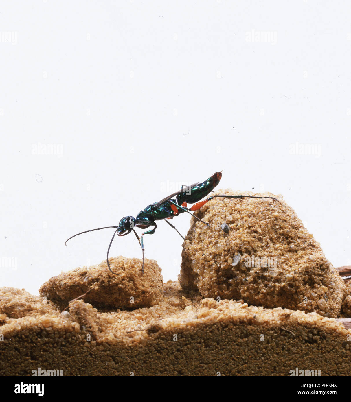 Emerald Cockroach Wasp or Jewel Wasp (Ampulex compressa) on sandy rock, side view - Stock Image