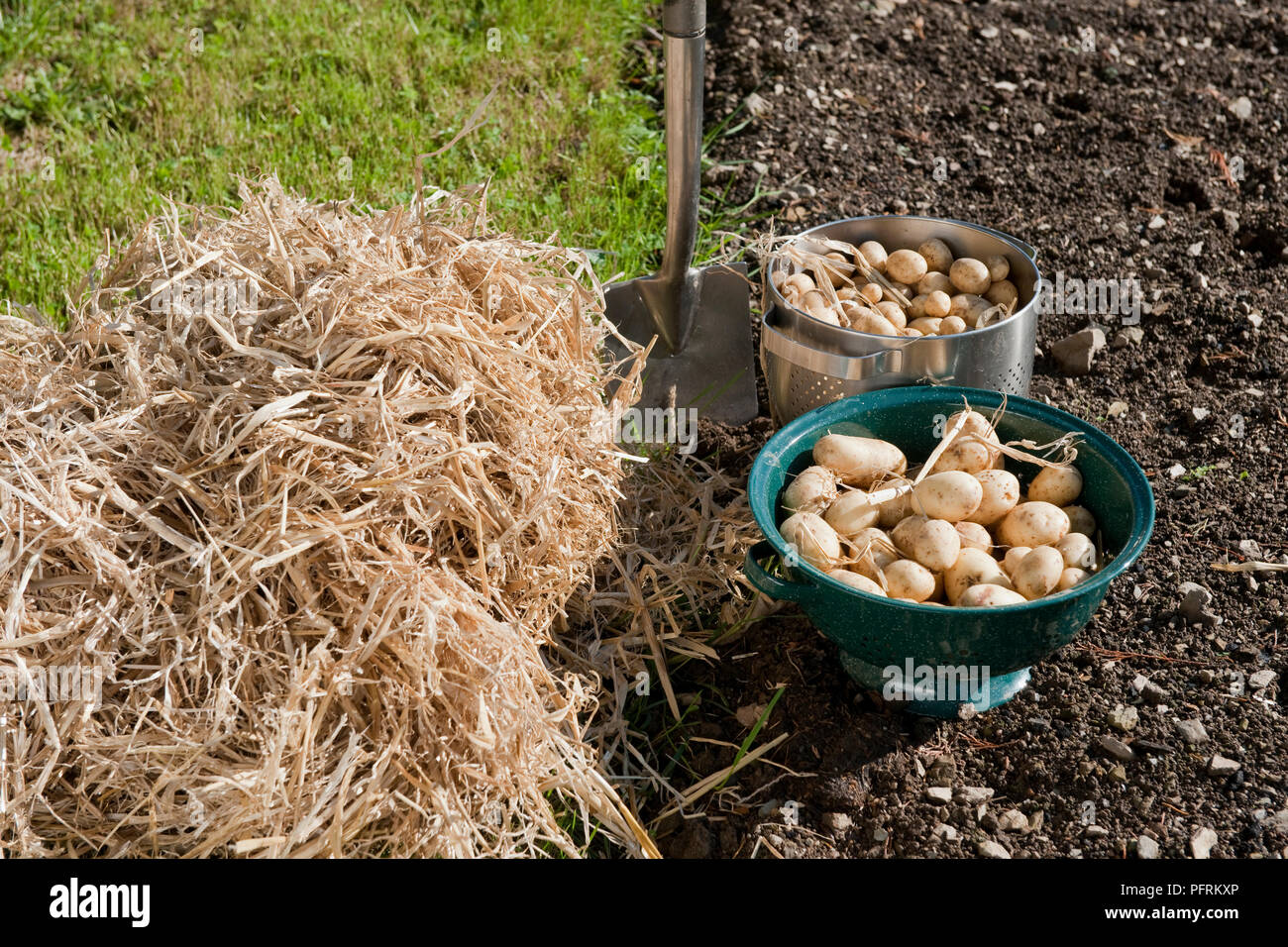 Harvested potatoes left to dry in colanders, and a pile of straw to make a potato clamp - Stock Image