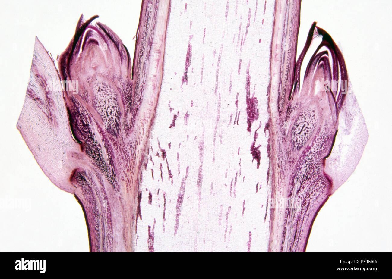 Micrograph, longitudinal section through woody dicotyledonous stem - Stock Image