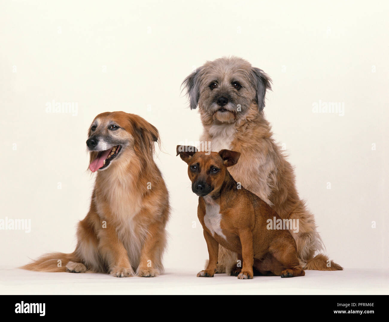 Three Large Small And Medium Mongrel Semi Longhair Longhaired And Short Hair Dogs Sitting Together Stock Photo Alamy