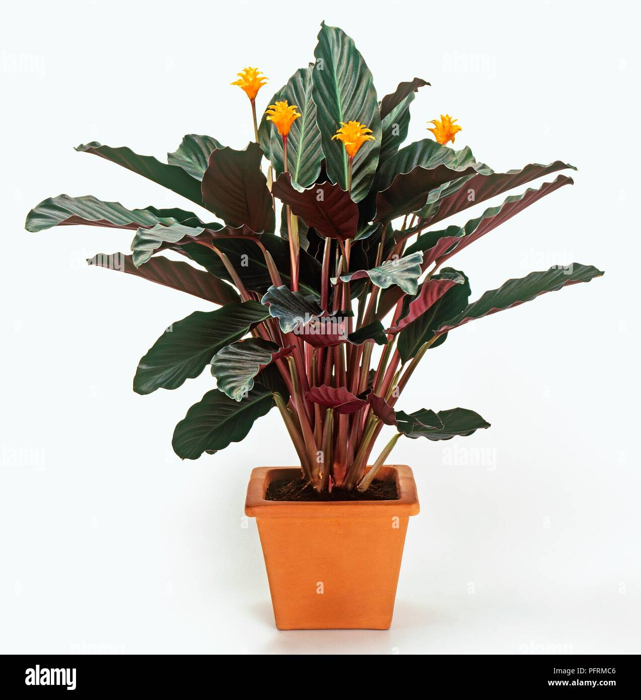 Calathea crocata (Calathea), houseplant with orange flowers and red on red and green ground cover, red and green ornamental grass, red and green leaf plant,