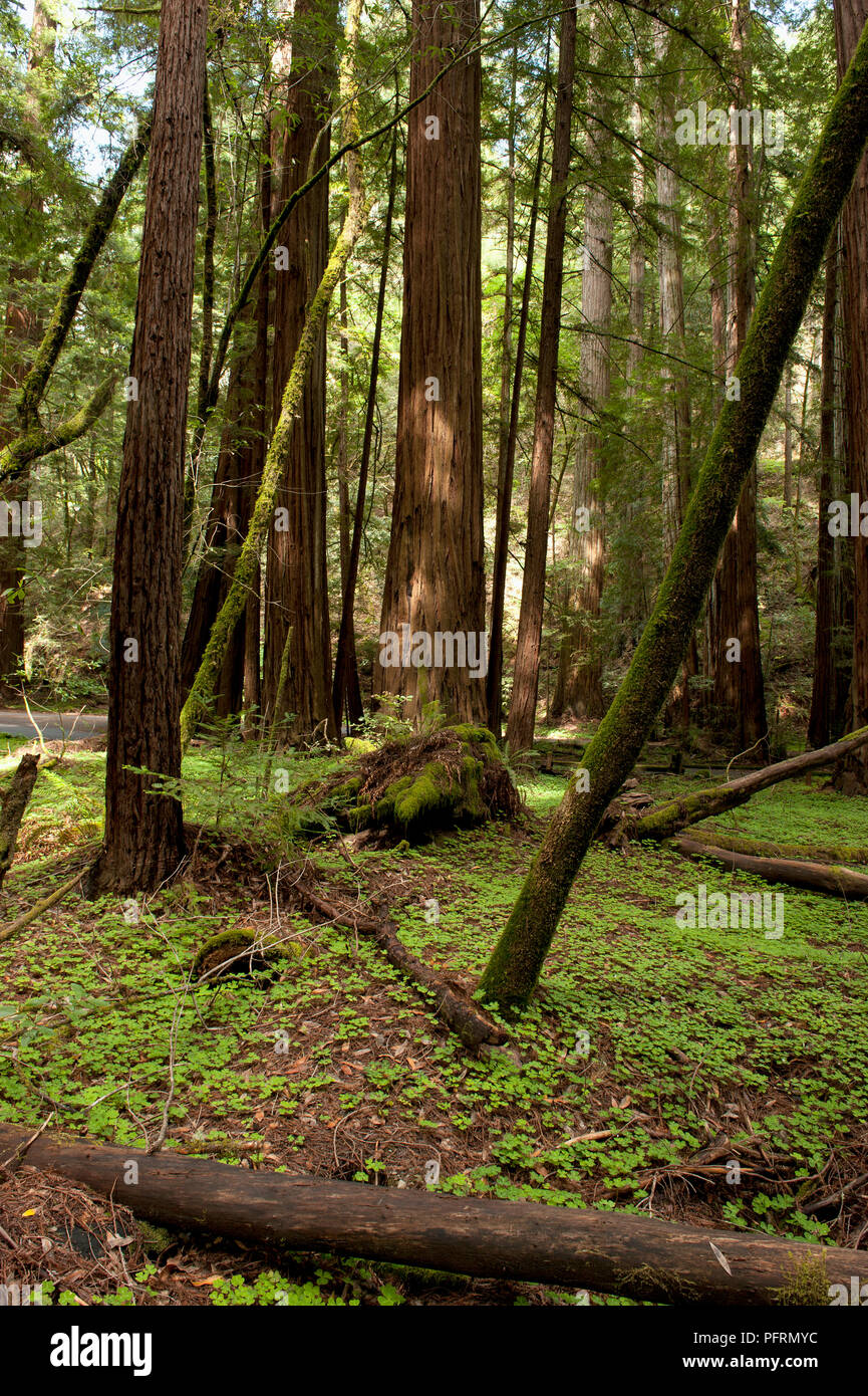 USA, California, Sonoma County, Russian River, Armstrong Redwoods State Natural Reserve, Sequoia sp. (Redwood trees) - Stock Image