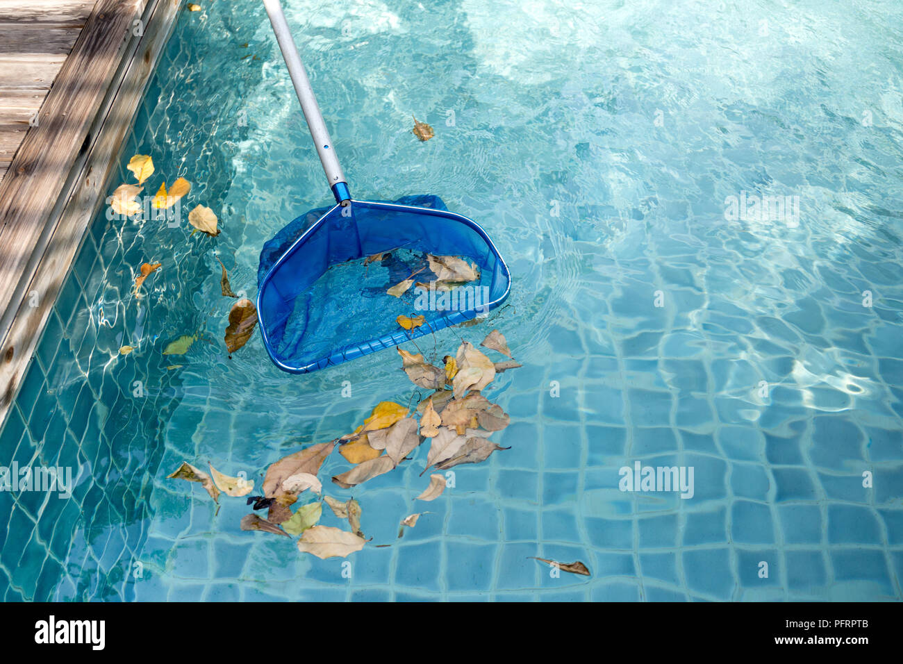 Cleaning swimming pool of fallen leaves with blue skimmer net Stock ...
