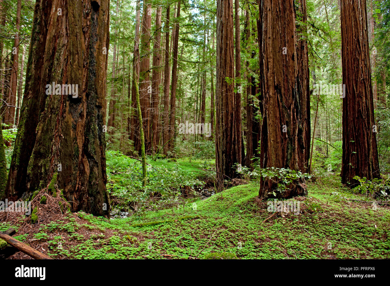 USA, California, Sonoma County, Armstrong Redwoods State Park, trees in forest - Stock Image