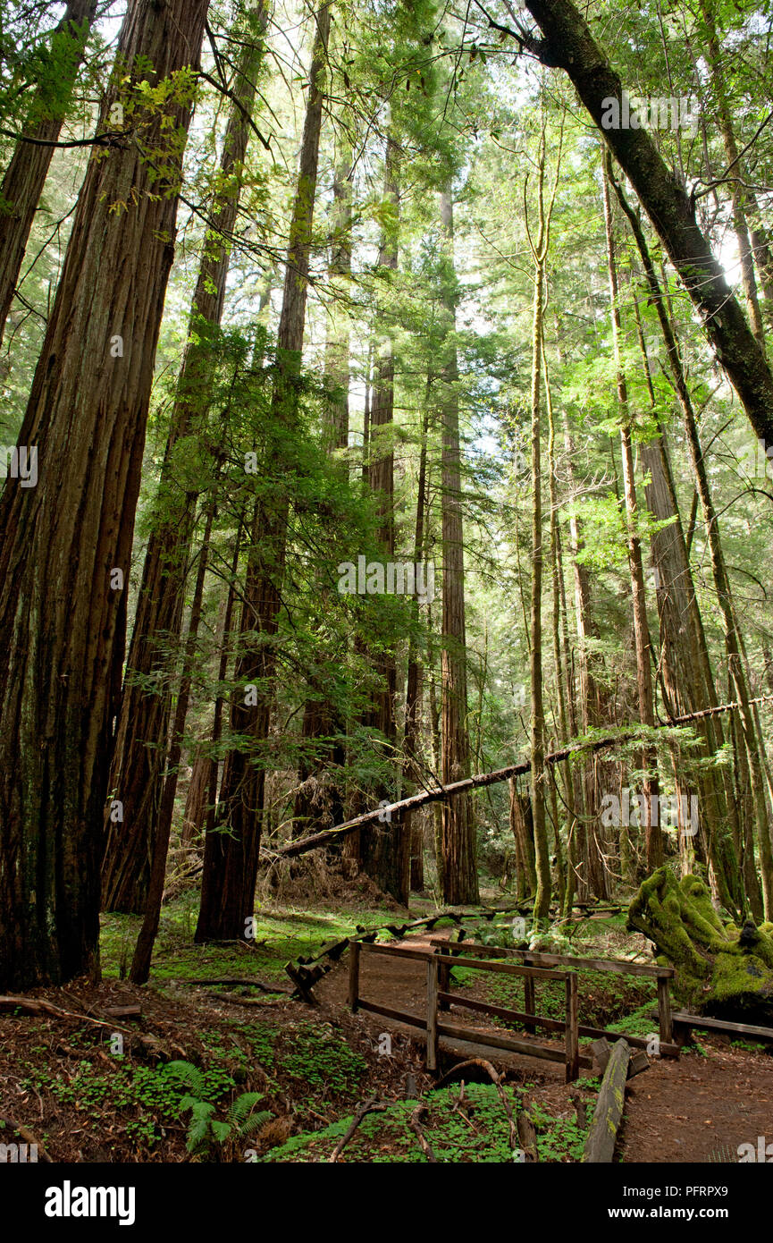 USA, California, Sonoma County, Armstrong Redwoods State Park, dirt track over bridge and stream below tall trees in forest - Stock Image