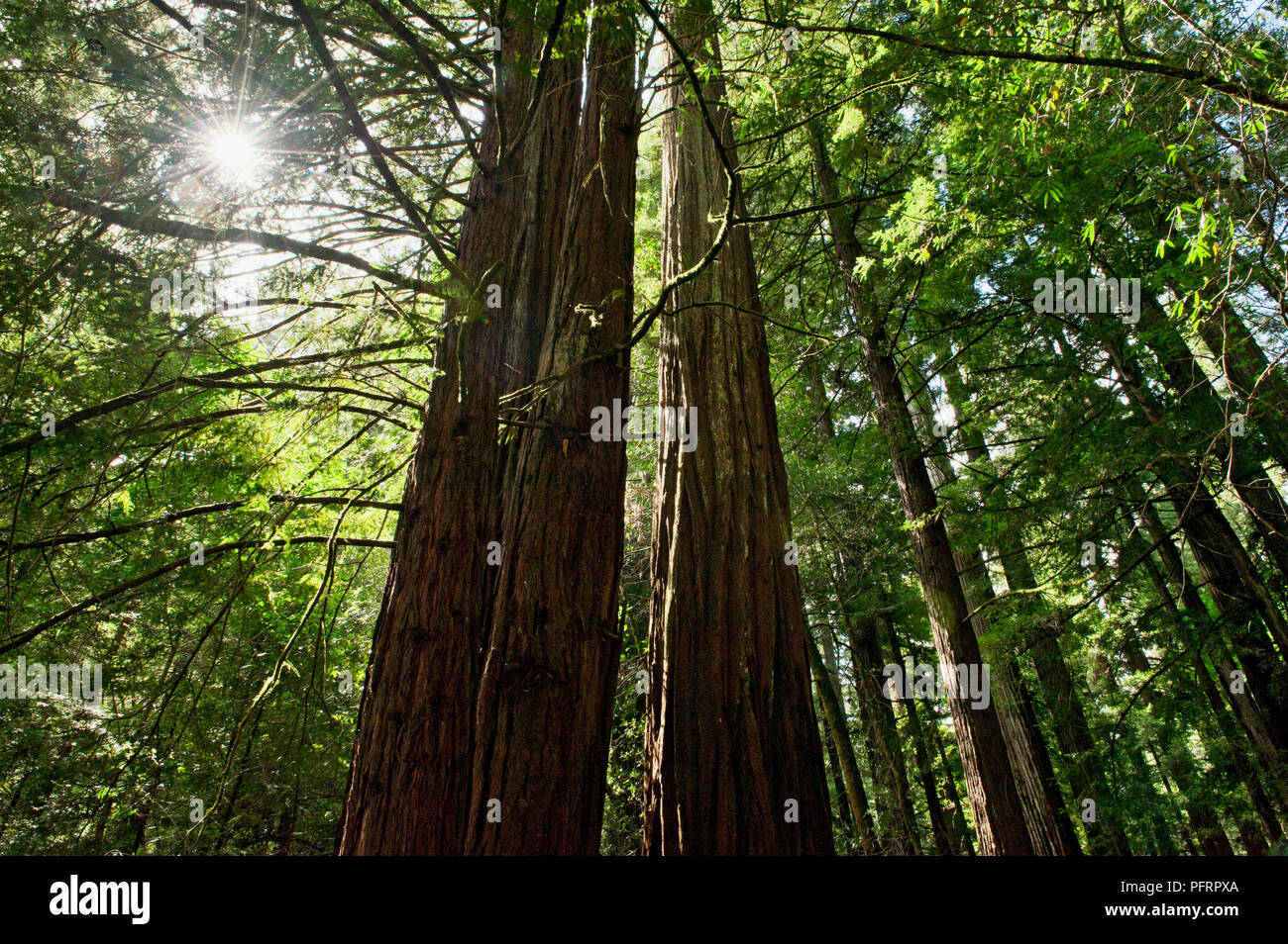 USA, California, Sonoma County, Armstrong Redwoods State Park, sunlight through tall trees in forest - Stock Image