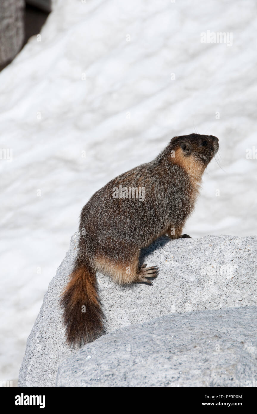 USA, California, Yosemite, Tioga Pass Road, Yellow-bellied Marmot (Marmota flaviventris) standing on rock in the High Country - Stock Image