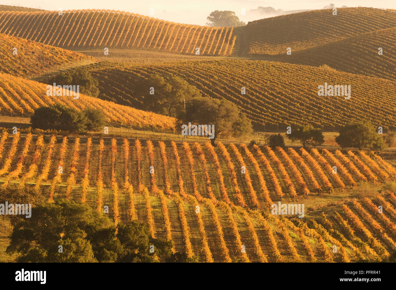 USA, California, Napa County, vast Carneros vineyards at sunset - Stock Image