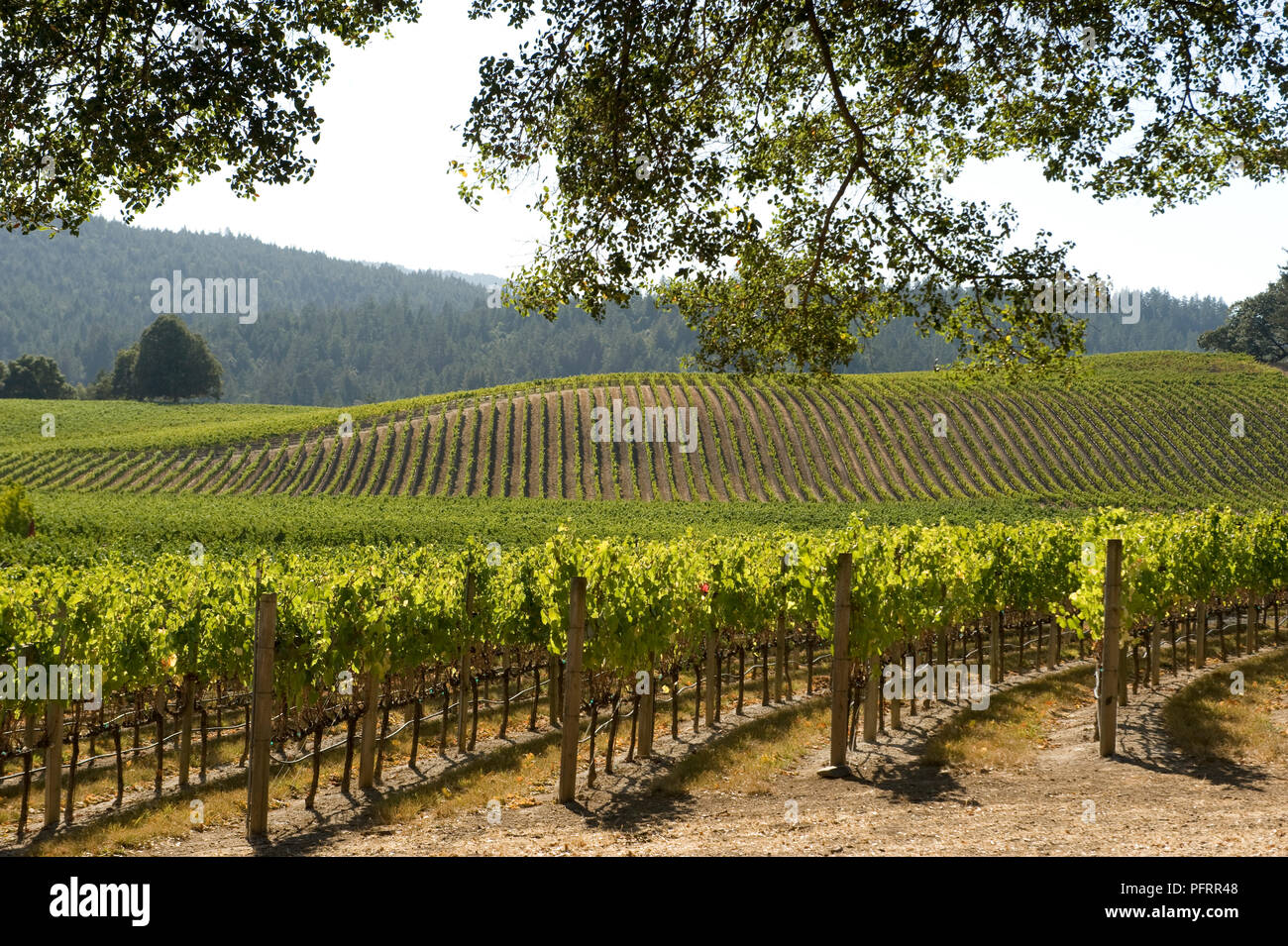 USA, California, Mendocino County, Navarro Vineyards in Anderson Valley - Stock Image