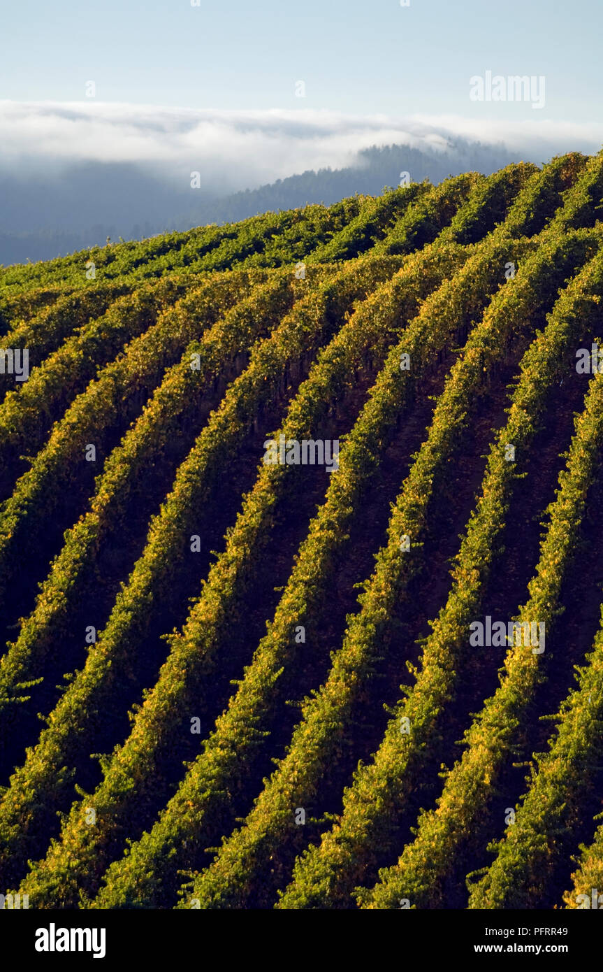 USA, California, Mendocino County, vast Navarro Vineyards in Anderson Valley - Stock Image