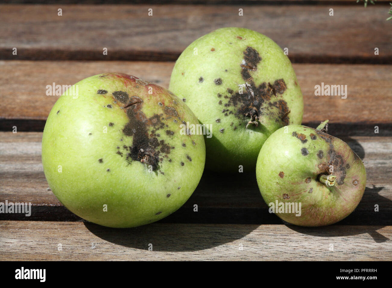 Green apples damaged by Venturia inaequalis (Apple Scab