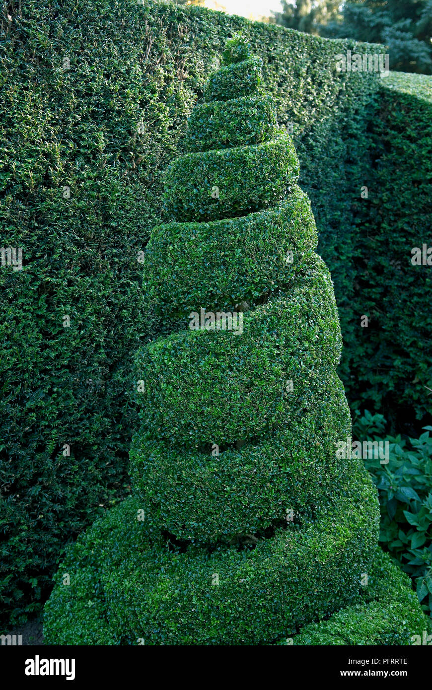 Buxus Box Topiary Spiral In Front Of Hedge In Formal Garden Stock Photo Alamy