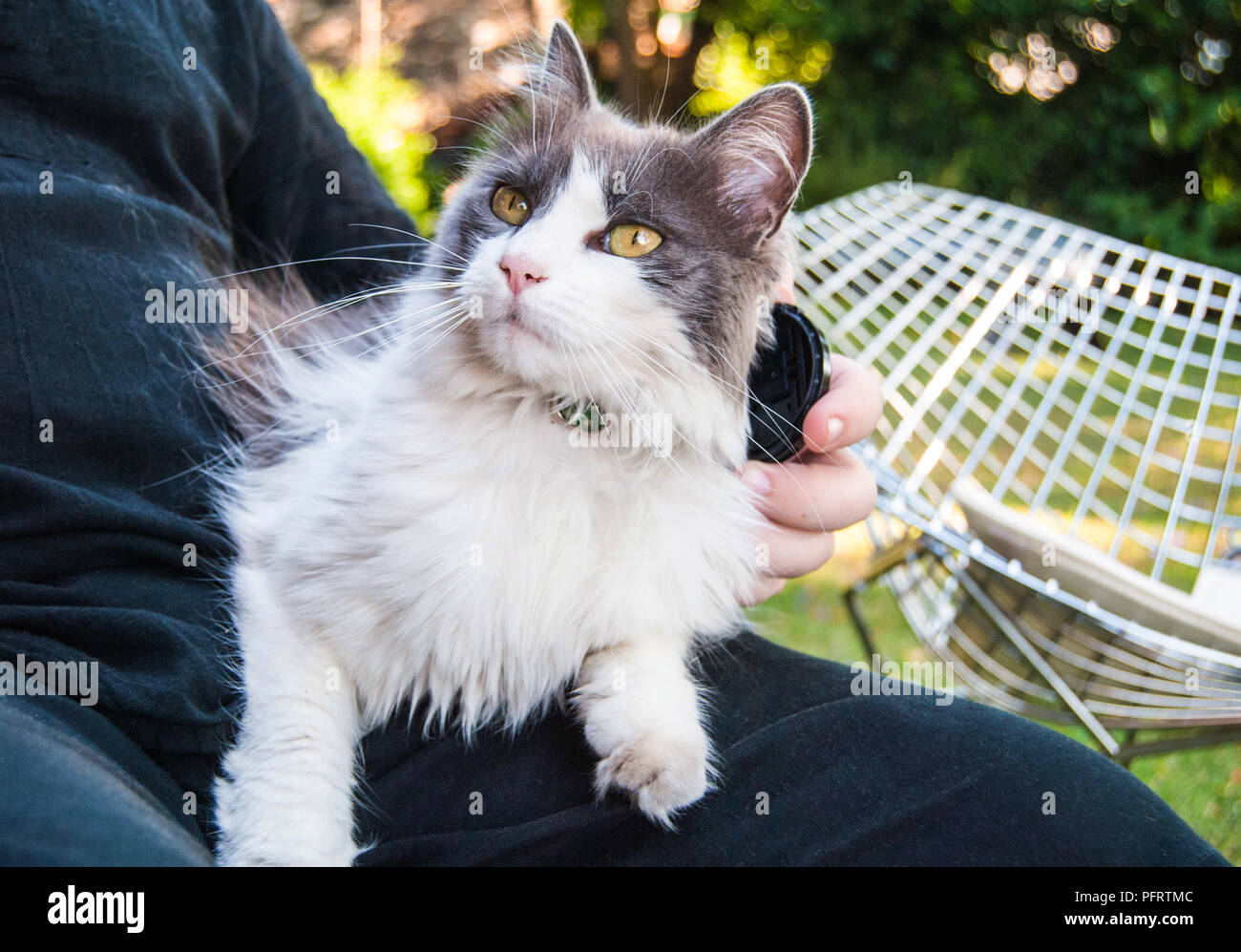 Beautiful cat being pet while sitting in someone's lap Stock Photo