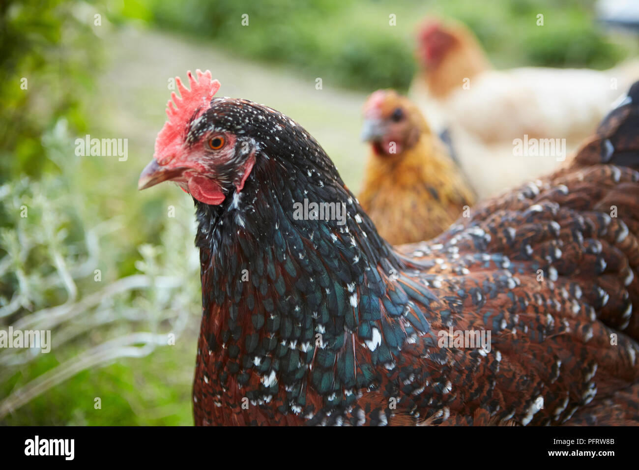 Chickens on allotment - Stock Image