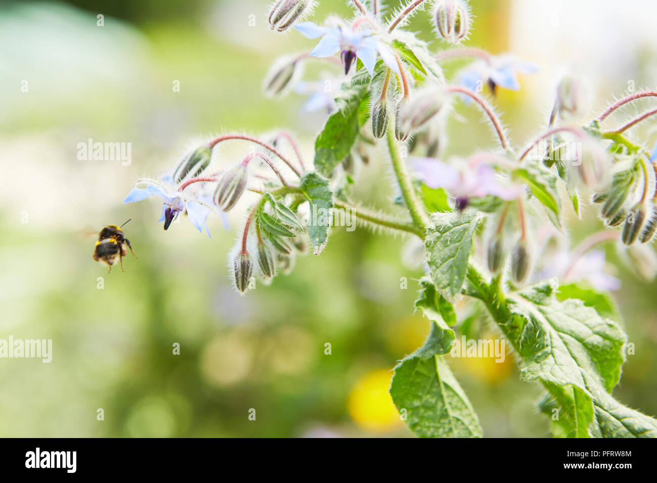Bee attracted by borage flower - Stock Image