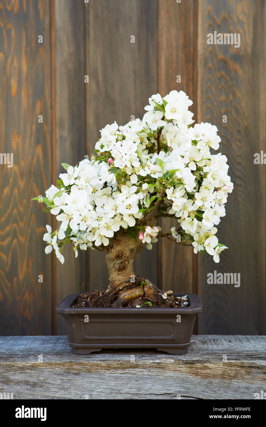 Bonsai crab apple malus white flowering bonsai tree stock photo bonsai crab apple malus white flowering bonsai tree mightylinksfo