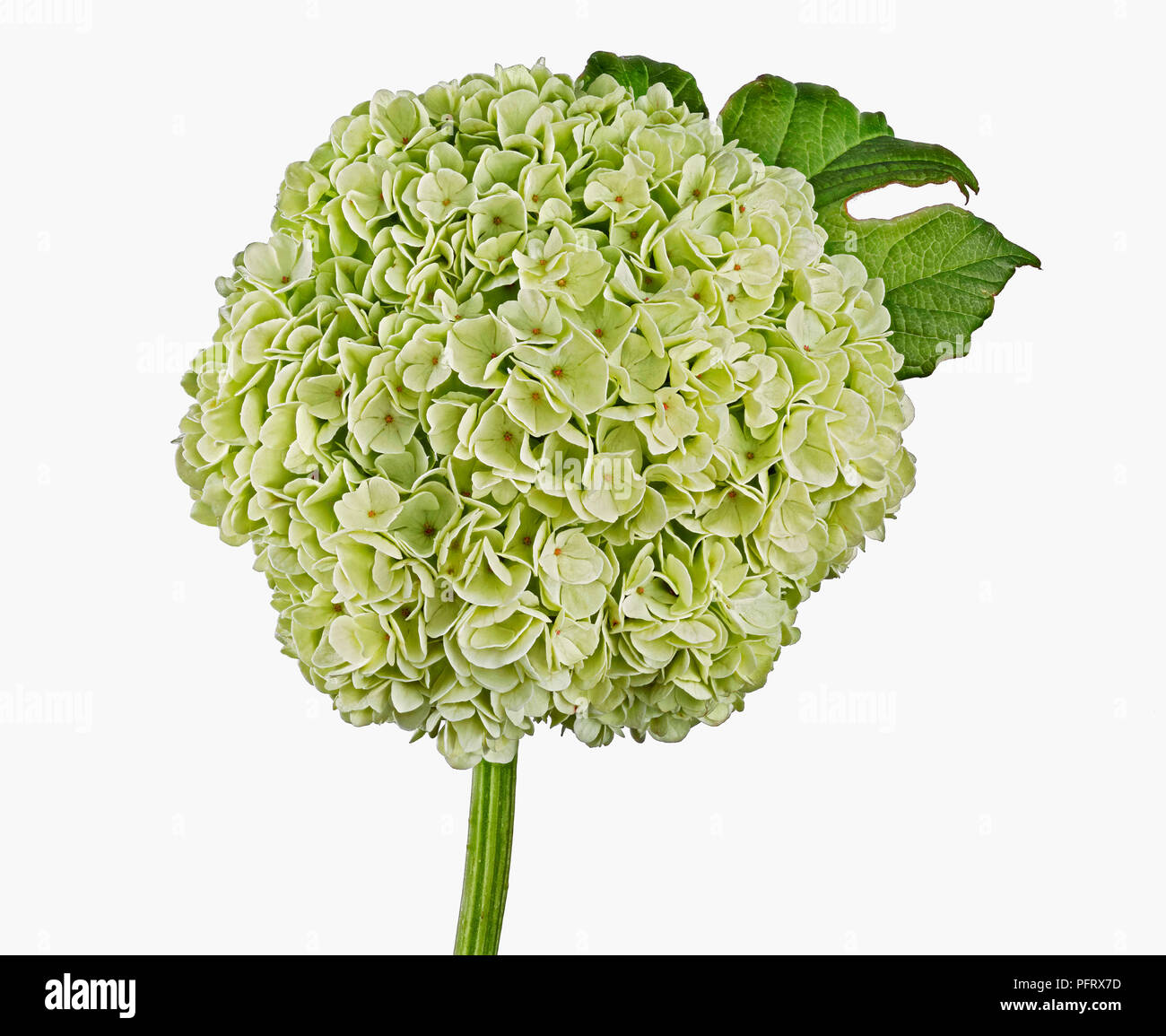 Guelder rose - Stock Image