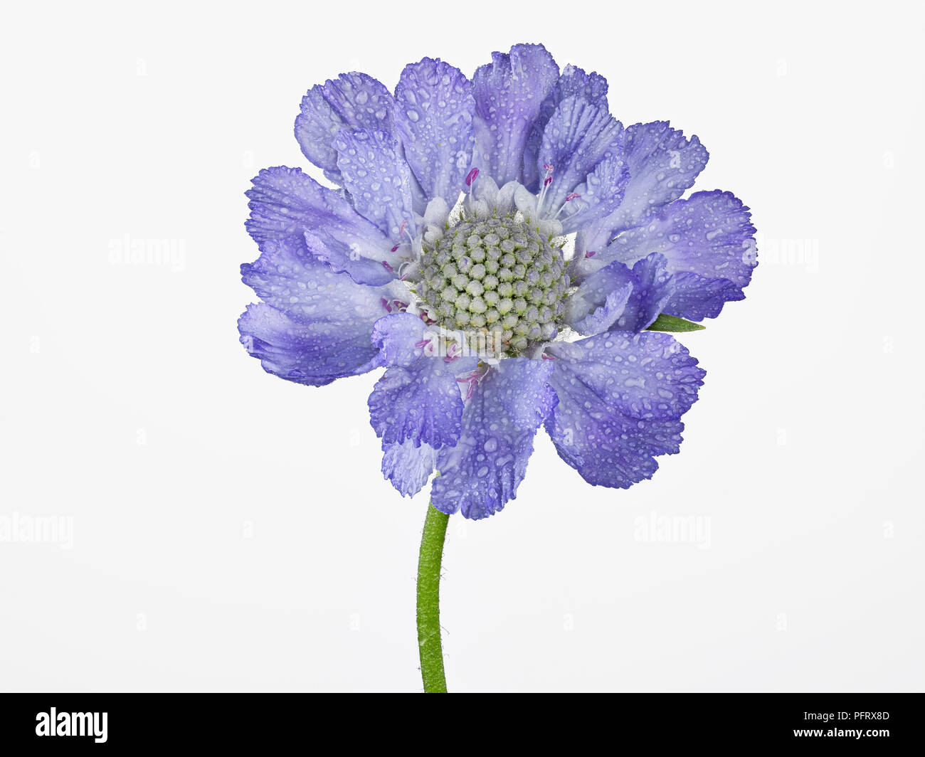Scabious - Stock Image