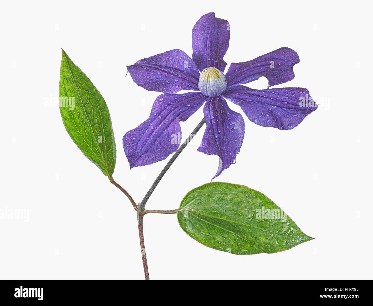 Clematis - Stock Image