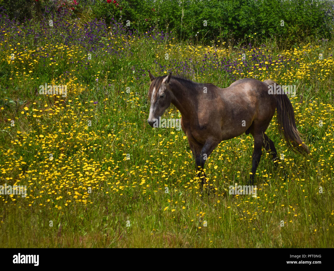 Horse grazing in a green field full of flowers - Stock Image
