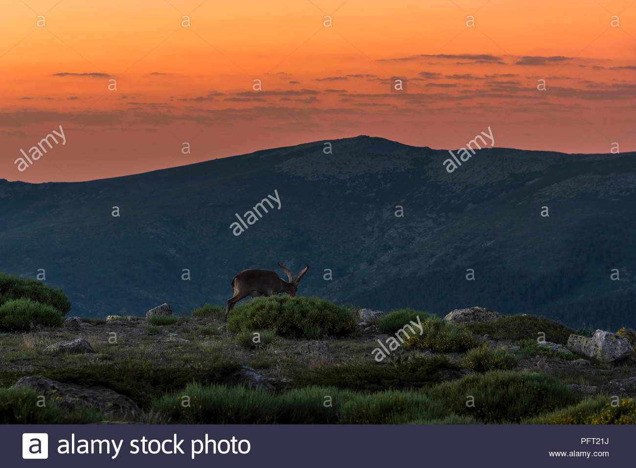 Wild goat male at sunrise in the Sierra de Guadarrama National Park,Spain. Stock Photo