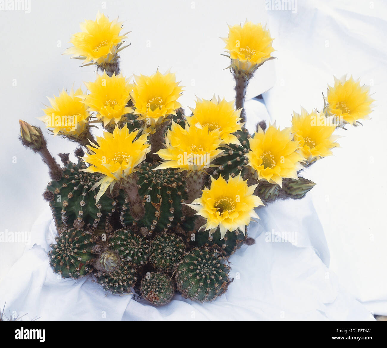 Echinopsis Forty Niner Hybrid Cactus With Yellow Flowers Stock